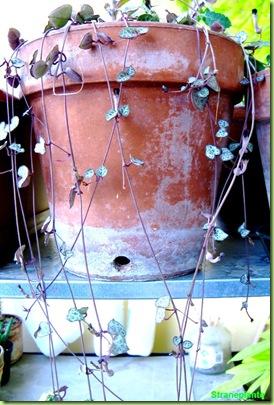 Ceropegia woodii foglie cuore vaso