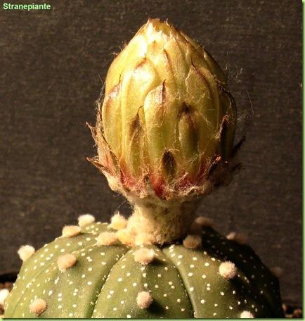 Astrophytum asterias bocciolo