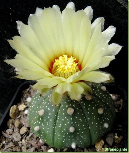 Astrophytum asterias fiore pianta
