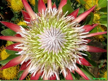 Protea magnifica fiore enorme