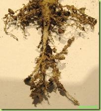 radici succulenta torba composta