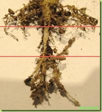 radici succulenta torba composta 2