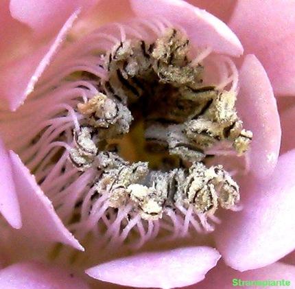 Gymnocalycium stenopleurum polline fiore rosa