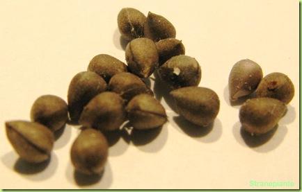 euphorbia obesa semi