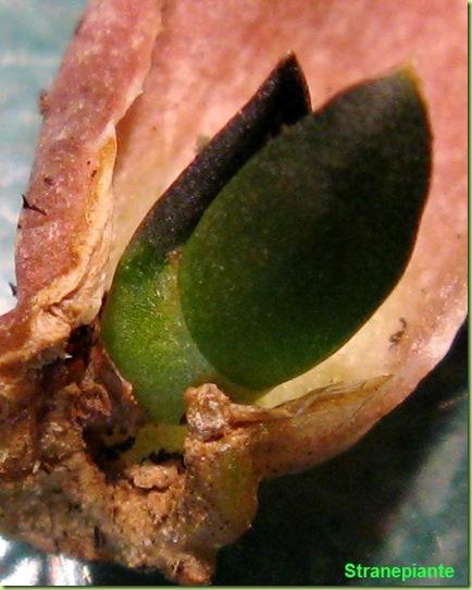 Talea per foglia di Haworthia pygmaea