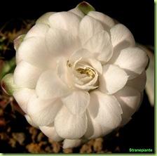 Gymnocalycium damsii fiore