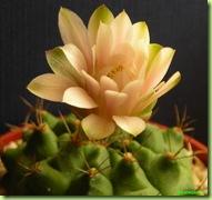 Gymnocalicyum anisitsii fiore