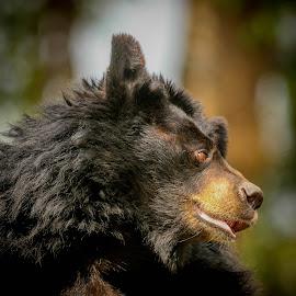 black Himalayan bear  by Rajat Singh - Animals Other ( bear )