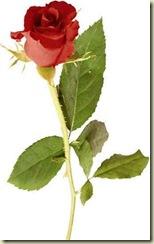 red_rose2[1]