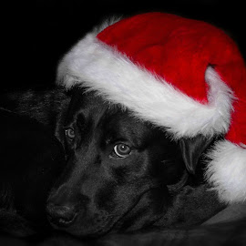 Ruben by Kathryn Johnson - Public Holidays Christmas ( fancy dress, christmas, holidays, dog, colour poblack labrador, labrador, portrait, hat )