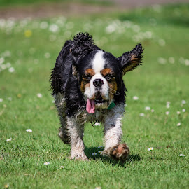 Kim by Tracey Dolan - Animals - Dogs Running
