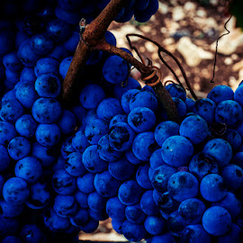 Blue grapes by Sonja Boljun - Food & Drink Fruits & Vegetables ( vineyard, trapan, istria, grapes, blue, croatia, pula,  )
