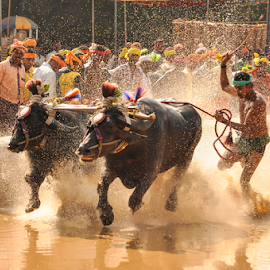 Buffalo race by Ramya Raju - News & Events Entertainment ( kambla, tulu nadu, buffalo race, india, karnataka,  )