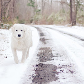 Great Pyrenees  by Stephanie Stafford - Animals - Dogs Running ( dogs, great pyrenees, snow, white, trees )