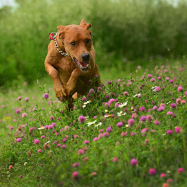 Scooby by Amber Williams - Animals - Dogs Running ( field, purple, green, action, puppy, flowers, dog, nikond610, running )