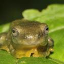 Reinwardt's Tree Frog