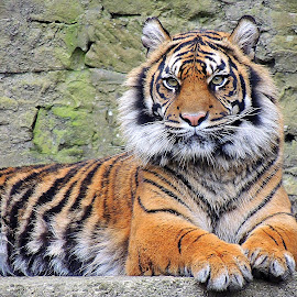 Sitting pretty by Kathryn Willett - Animals Lions, Tigers & Big Cats