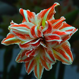 by Ajar Setiadi - Flowers Single Flower