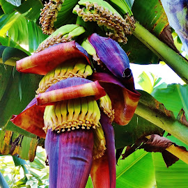 Growing bananas. by Carine Smit - Nature Up Close Gardens & Produce
