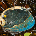Black Abalone (Endangered)