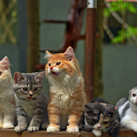 by Cacang Effendi - Animals - Cats Kittens ( cats, cattery, kitten, chandra, animal, baby, young )