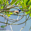 Black-naped Monarch