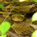 Timber Rattlesnake - yellow phase