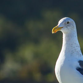 Bird by the Bay by Greg Head - Novices Only Wildlife ( bird, seagull, bay, telephoto, bokeh )