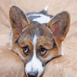 Little observer by Mia Ikonen - Animals - Dogs Puppies ( thinking, pembroke welsh corgi, finland, cute, expressive )