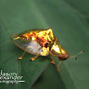 Asian Golden Tortoise Beetle