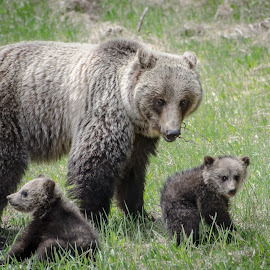 Don't mess with Mama bear by Jo C. - Novices Only Wildlife ( grizzly, bears, grizzly cubs, british columbia )