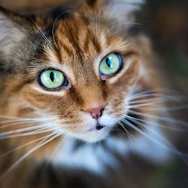 Katie Kat by Kara Pangrazio - Animals - Cats Portraits ( #kat #cat #katiekat #adelaide #canon )