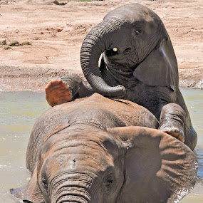 Elephants by Dawn Hoehn Hagler - Animals Other Mammals ( zoo, reid park zoo, elephant, tucson, elephant baby,  )
