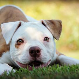 Happy Puppy by Tasha Chasteen's AmericanBulldogs - Animals - Dogs Puppies ( bulldog, cute puppy, american bulldog, puppy, baby, cute )