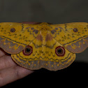 Southern Cats Eye Emperor Moth