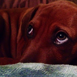 Sad eyes  by Katrina Rose - Animals - Dogs Puppies ( sad, puppy, emotion, eyes, animal )