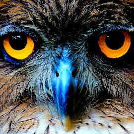 Owl by Tharmapalan Tilaxan - Animals Birds