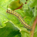 Great Southern White Caterpillars