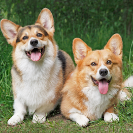 Dos Amigos by Mia Ikonen - Animals - Dogs Portraits ( panting, friends, pembroke welsh corgi, finland, cute )