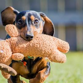 Weenie dog running by Marissa Frederick - Animals - Dogs Running ( playing, daschund, puppy, dog, running )
