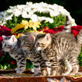 three kittens.jpg