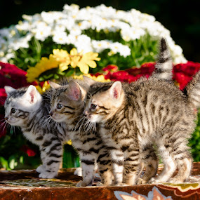 Three little cuties by Rob Ebersole - Animals - Cats Kittens ( cat, kitten, bengal, leopard )