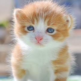 by Maja  Marjanovic - Animals - Cats Kittens ( cats, animals, cat, kitten, kittens, kitty,  )