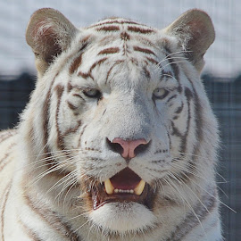 Tigger by Barry Butler - Animals Lions, Tigers & Big Cats (  )