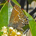 Texas Juniper Hairstreak