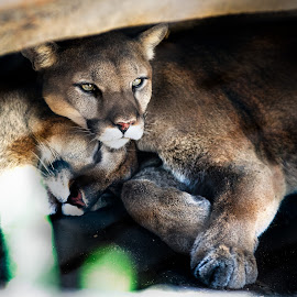 Cougar by Robby Ticknor - Animals Lions, Tigers & Big Cats ( cat, animals, puma )