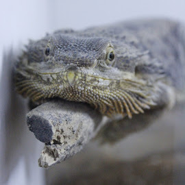 Hoover by Robyn Power - Animals Reptiles (  )