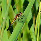 Dragonfly Black darter (female)