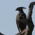 Changable Hawk Eagle