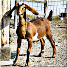 Goat Sound Effects icon